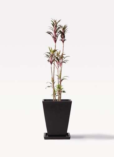 観葉植物 コルディリネ (コルジリネ) ターミナリス 8号 パウダーストーン 黒 付き