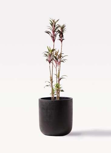 観葉植物 コルディリネ (コルジリネ) ターミナリス 8号 エルバ 黒 付き