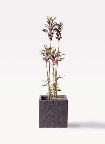 観葉植物 コルディリネ (コルジリネ) ターミナリス 8号 ベータ キューブプランター ウッド 茶 付き