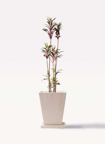 観葉植物 コルディリネ (コルジリネ) ターミナリス 8号 パウダーストーン 白 付き