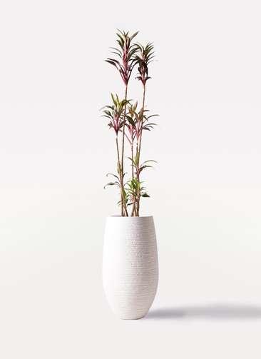 観葉植物 コルディリネ (コルジリネ) ターミナリス 8号 フォンティーヌトール 白 付き