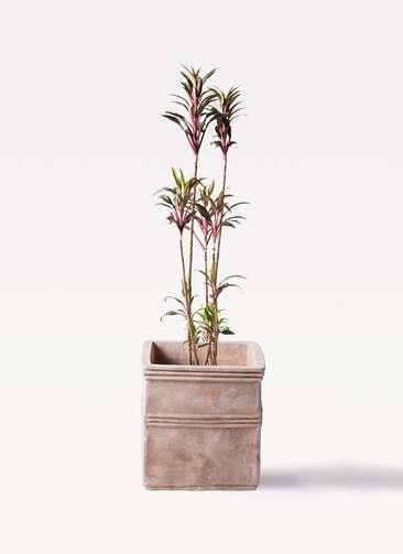 観葉植物 コルディリネ (コルジリネ) ターミナリス 8号 テラアストラ カペラキュビ 赤茶色 付き