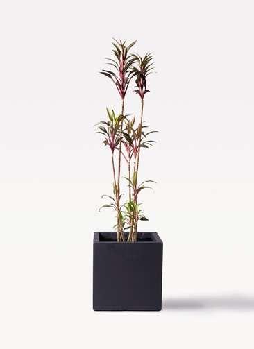 観葉植物 コルディリネ (コルジリネ) ターミナリス 8号 ベータ キューブプランター 黒 付き
