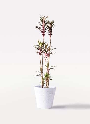 観葉植物 コルディリネ (コルジリネ) ターミナリス 8号 フォリオソリッド 白 付き