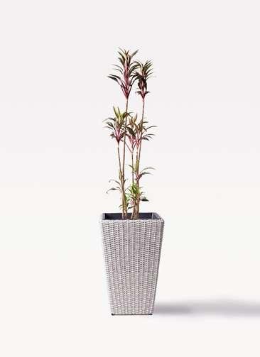 観葉植物 コルディリネ (コルジリネ) ターミナリス 8号 ウィッカーポット スクエアロング OT 白 付き