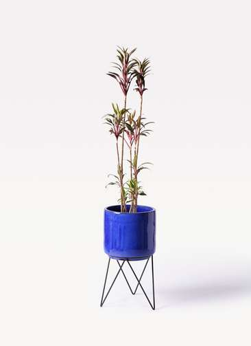 観葉植物 コルディリネ (コルジリネ) ターミナリス 8号 ビトロ エンデカ 鉢カバースタンド付 ブルー 付き