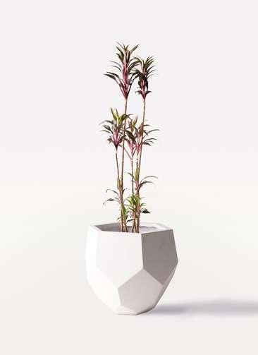 観葉植物 コルディリネ (コルジリネ) ターミナリス 8号 ポリゴヘクサ 白 付き