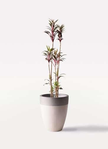 観葉植物 コルディリネ (コルジリネ) ターミナリス 8号 ファイバーストーンカプリ サンディホワイト 付き