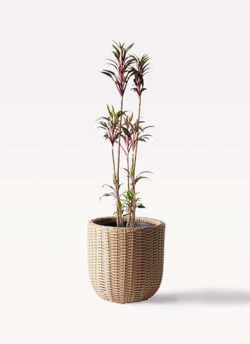 観葉植物 コルディリネ (コルジリネ) ターミナリス 8号 ウィッカーポットエッグ ベージュ 付き
