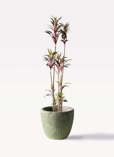観葉植物 コルディリネ (コルジリネ) ターミナリス 8号 アビスソニアミドル 緑 付き