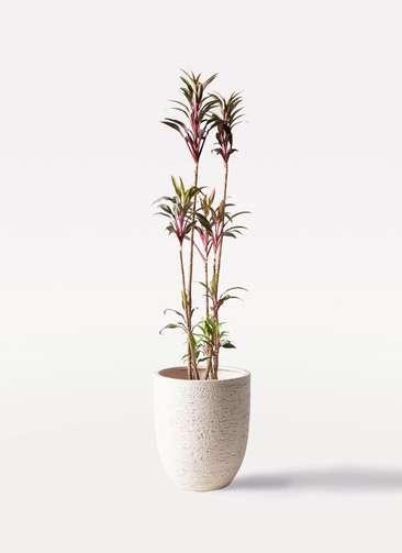 観葉植物 コルディリネ (コルジリネ) ターミナリス 8号 ビアスアルトエッグ 白 付き