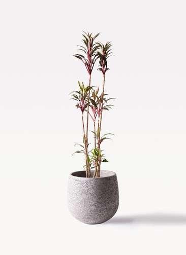 観葉植物 コルディリネ (コルジリネ) ターミナリス 8号 エコストーンGray 付き