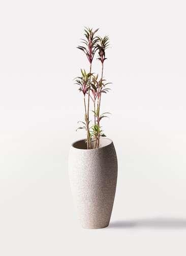 観葉植物 コルディリネ (コルジリネ) ターミナリス 8号 エコストーントールタイプ Light Gray 付き