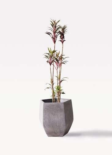 観葉植物 コルディリネ (コルジリネ) ターミナリス 8号 ファイバークレイ Gray 付き