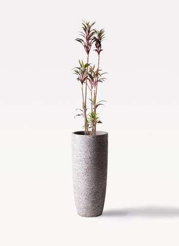 観葉植物 コルディリネ (コルジリネ) ターミナリス 8号 エコストーントールタイプ Gray 付き