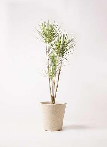 観葉植物 コンシンネ ホワイポリー 8号 ストレート フォリオソリッド クリーム 付き
