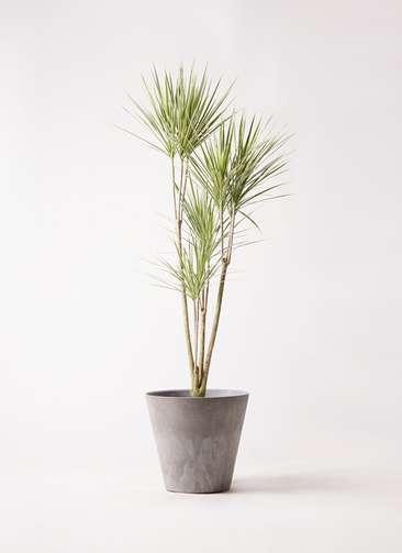 観葉植物 コンシンネ ホワイポリー 8号 ストレート アートストーン ラウンド グレー 付き