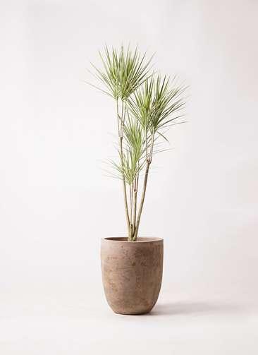 観葉植物 コンシンネ ホワイポリー 8号 ストレート ルーガ アンティコ アルトエッグ 付き