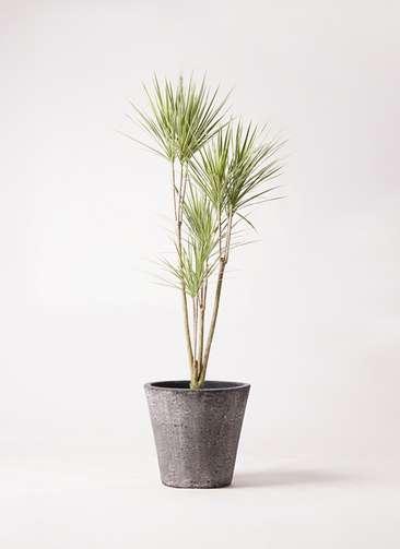 観葉植物 コンシンネ ホワイポリー 8号 ストレート フォリオソリッド ブラックウォッシュ 付き