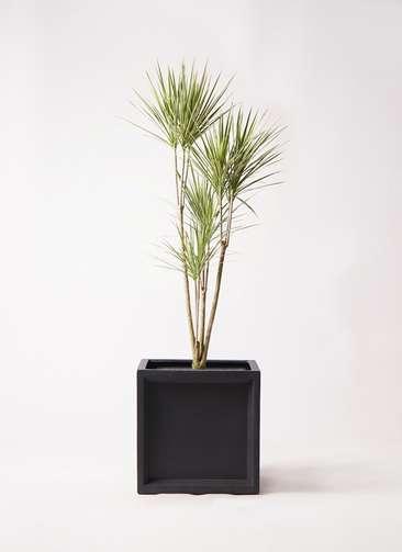 観葉植物 コンシンネ ホワイポリー 8号 ストレート ブリティッシュキューブ 付き