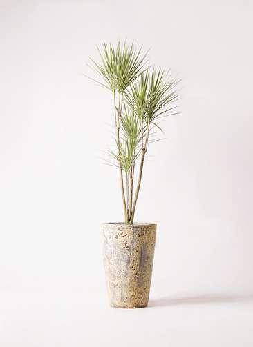 観葉植物 コンシンネ ホワイポリー 8号 ストレート アトランティス クルーシブル 付き