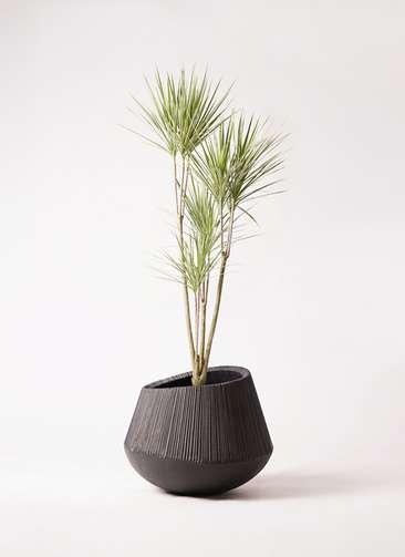 観葉植物 コンシンネ ホワイポリー 8号 ストレート エディラウンド 黒 付き