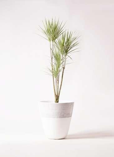 観葉植物 コンシンネ ホワイポリー 8号 ストレート ジュピター 白 付き