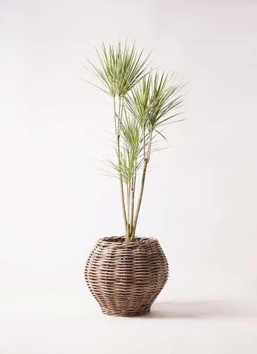 観葉植物 コンシンネ ホワイポリー 8号 ストレート グレイラタン 付き