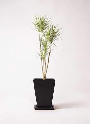 観葉植物 コンシンネ ホワイポリー 8号 ストレート パウダーストーン 黒 付き