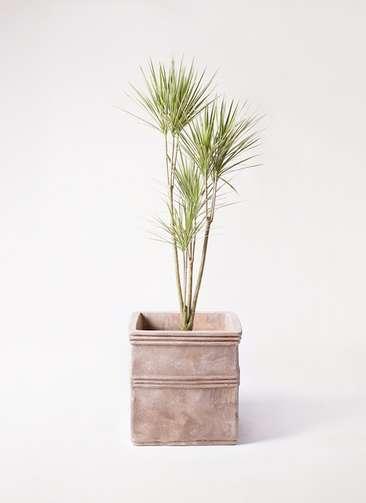 観葉植物 コンシンネ ホワイポリー 8号 ストレート テラアストラ カペラキュビ 赤茶色 付き