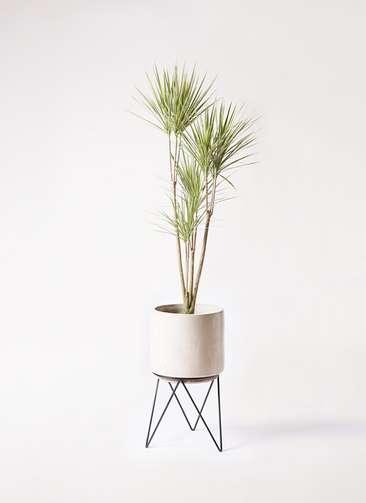 観葉植物 コンシンネ ホワイポリー 8号 ストレート ビトロ エンデカ 鉢カバースタンド付 クリーム 付き