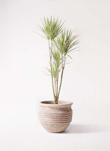 観葉植物 コンシンネ ホワイポリー 8号 ストレート テラアストラ リゲル 赤茶色 付き