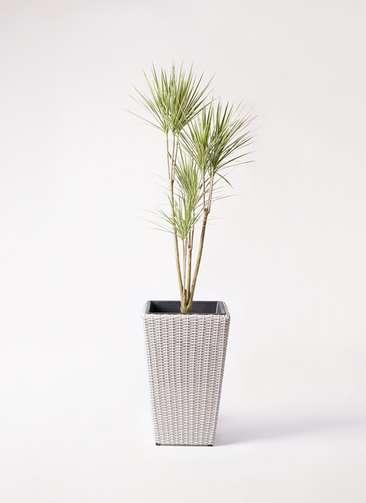 観葉植物 コンシンネ ホワイポリー 8号 ストレート ウィッカーポット スクエアロング OT 白 付き