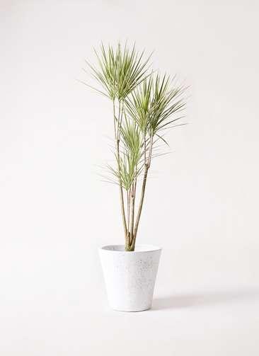 観葉植物 コンシンネ ホワイポリー 8号 ストレート フォリオソリッド 白 付き
