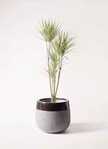 観葉植物 コンシンネ ホワイポリー 8号 ストレート ファイバーストーンタウルス 黒 付き