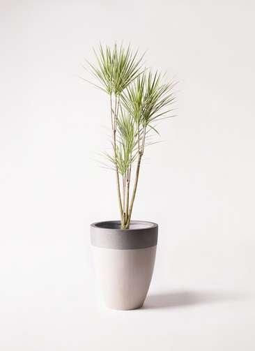 観葉植物 コンシンネ ホワイポリー 8号 ストレート ファイバーストーンカプリ サンディホワイト 付き