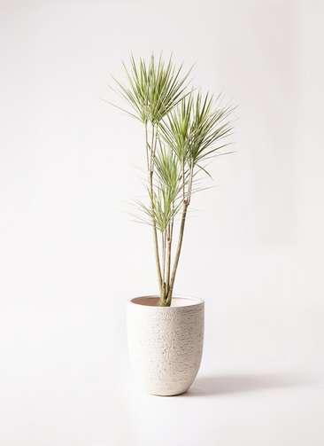 観葉植物 コンシンネ ホワイポリー 8号 ストレート ビアスアルトエッグ 白 付き