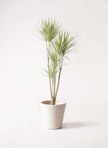 観葉植物 コンシンネ ホワイポリー 8号 ストレート ビアスソリッド 白 付き