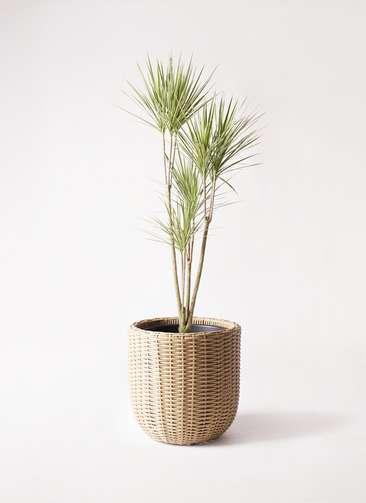観葉植物 コンシンネ ホワイポリー 8号 ストレート ウィッカーポットエッグ ベージュ 付き