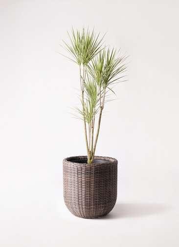 観葉植物 コンシンネ ホワイポリー 8号 ストレート ウィッカーポットエッグ 茶 付き