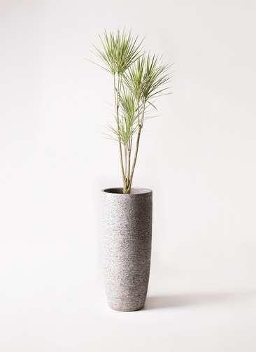 観葉植物 コンシンネ ホワイポリー 8号 ストレート エコストーントールタイプ Gray 付き