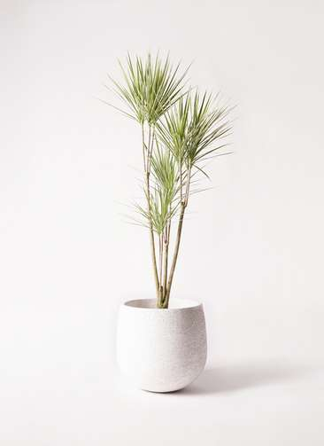 観葉植物 コンシンネ ホワイポリー 8号 ストレート エコストーンwhite 付き