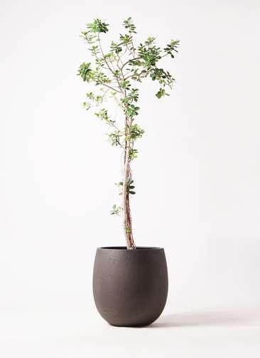 観葉植物 ガジュマル 8号 パンダ テラニアス バルーン アンティークブラウン 付き