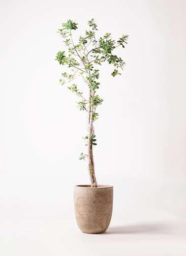 観葉植物 ガジュマル 8号 パンダ ルーガ アンティコ アルトエッグ 付き