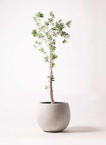 観葉植物 ガジュマル 8号 パンダ テラニアス ローバルーン アンティークホワイト 付き
