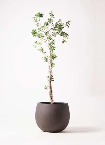 観葉植物 ガジュマル 8号 パンダ テラニアス ローバルーン アンティークブラウン 付き