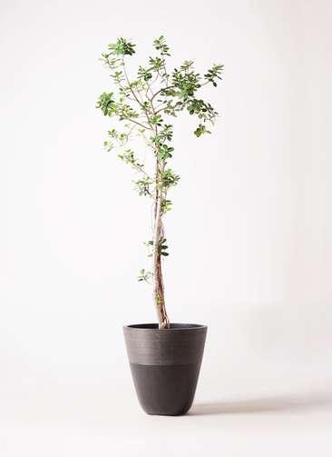 観葉植物 ガジュマル 8号 パンダ ジュピター 黒 付き