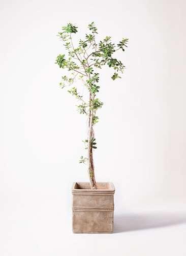観葉植物 ガジュマル 8号 パンダ テラアストラ カペラキュビ 赤茶色 付き