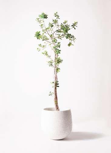観葉植物 ガジュマル 8号 パンダ エコストーンwhite 付き