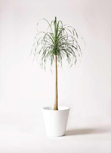 観葉植物 トックリラン ポニーテール 10号 フォリオソリッド 白 付き